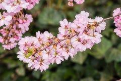 Sakura Japan Royalty Free Stock Photography