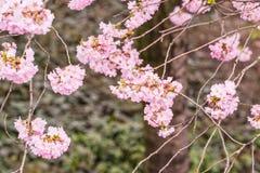 Sakura Japan Royalty Free Stock Photos