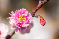 Sakura in japan cherry blossoms Stock Images