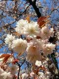 Sakura. Japan white cherryblossom Stock Photo