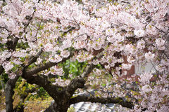 Sakura (Japanese Cherry Blossom) Stock Photography