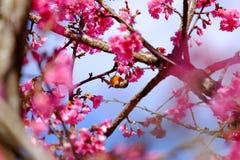 Sakura Japanese or cherry blossom and bird at Doi Ang Khang Nati. Onal Park, Chiang Mai, Thailand Royalty Free Stock Photography