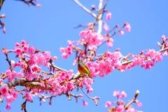 Sakura Japanese or cherry blossom and bird at Doi Ang Khang Nati. Onal Park, Chiang Mai, Thailand Royalty Free Stock Photo