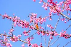 Sakura Japanese or cherry blossom and bird at Doi Ang Khang Nati. Onal Park, Chiang Mai, Thailand Stock Image