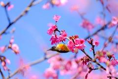 Sakura Japanese or cherry blossom and bird at Doi Ang Khang Nati. Onal Park, Chiang Mai, Thailand Stock Photo
