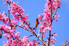 Sakura Japanese or cherry blossom and bird at Doi Ang Khang Nati. Onal Park, Chiang Mai, Thailand Stock Images