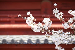 Sakura (Japanese Cherry Blossom) Royalty Free Stock Photos