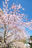 Sakura (Japanese Cherry Blossom) Royalty Free Stock Image