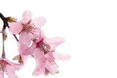 Sakura the Japanese cherry at spring. Royalty Free Stock Images