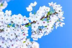 Sakura Royalty Free Stock Photo