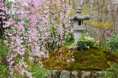Sakura in Japanese garden Stock Photos