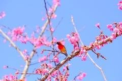 Sakura Japanese o flor de cerezo y pájaro en Doi Ang Khang Nati Fotografía de archivo libre de regalías