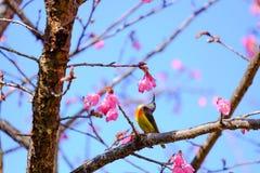Sakura Japanese o flor de cerezo y pájaro en Doi Ang Khang Nati Imagenes de archivo