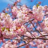 Sakura. Japansk körsbärsröd blomning i vår Royaltyfria Bilder