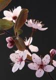Sakura japanska körsbärsröda blomningar Royaltyfria Bilder
