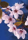 Sakura japanska körsbärsröda blomningar Arkivbild