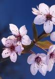 Sakura japanska körsbärsröda blomningar Arkivfoton
