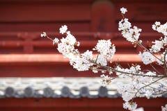 Sakura (japonés Cherry Blossom) Fotos de archivo libres de regalías