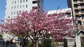 Sakura Japonia Fotografia Stock