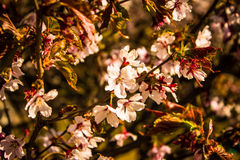 Sakura Jardín botánico de St Petersburg Imagen de archivo libre de regalías