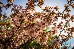 Sakura Jardín botánico de St Petersburg Fotos de archivo libres de regalías