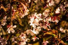 Sakura Jardim botânico de St Petersburg Imagem de Stock Royalty Free