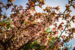Sakura Jardim botânico de St Petersburg Fotos de Stock Royalty Free