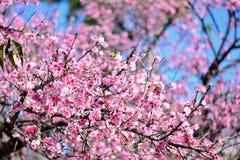 Sakura Joy Okinawa. Sakura joy of Okinawa in a bright sunny day, looks the eye of the beholder Royalty Free Stock Photography