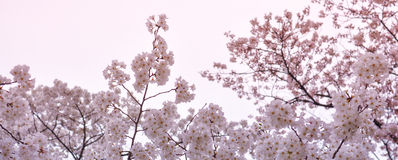 Sakura-körsbär Blomning-baner format Fotografering för Bildbyråer