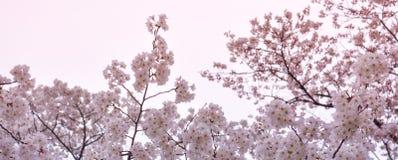 Sakura-körsbär Blomning-baner format Arkivbilder