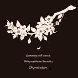 Sakura körsbär på svart bakgrund Fotografering för Bildbyråer