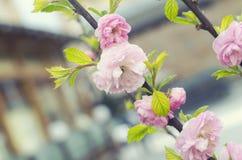 Sakura körsbärsröd blommablomning i vår Blom- filial för vår Härliga blommor på en trädfilial yellow för fjäder för äng för bakgr Royaltyfria Bilder