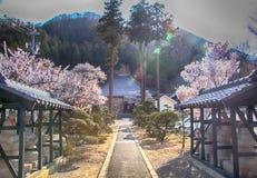 Sakura körsbärsröd blomning i vår av byn av aprikons Royaltyfri Fotografi