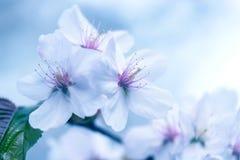 Sakura Körsbärsröd blomning i vår vita härliga blommor Fotografering för Bildbyråer
