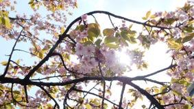 Sakura körsbärsröd blomning, Japan i April Royaltyfria Bilder