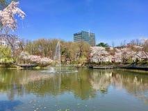 Sakura körsbärsröd blomning på universitetsområdesjön av det Seoul Techuniversitetet, Sydkorea royaltyfria foton
