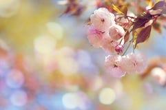 Sakura (körsbärsröda blomningar) Arkivfoto