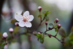 Sakura - körsbärsröda blomningar Arkivfoton