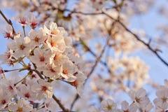 Sakura - körsbärsröda blomningar Arkivbilder