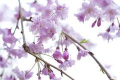 Sakura - körsbärsröda blomningar Royaltyfri Foto