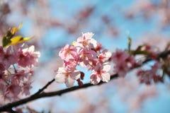 Sakura (körsbärsröda blomningar) i Japan Arkivfoton