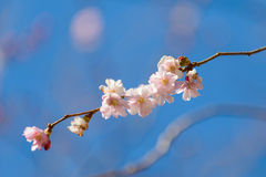 Sakura körsbärsrött träd i blomning Fotografering för Bildbyråer