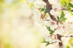 Sakura, kersenbloesem royalty-vrije stock afbeelding