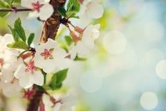 Sakura, kersenbloesem stock afbeeldingen