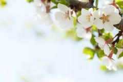 Sakura, kersenbloesem Royalty-vrije Stock Foto's