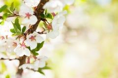 Sakura, kersenbloesem royalty-vrije stock fotografie