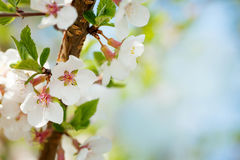 Sakura, kersenbloesem stock foto's