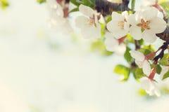 Sakura, kersenbloesem royalty-vrije stock foto