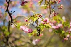 Sakura Kersenbloesem in de lente Stock Afbeeldingen