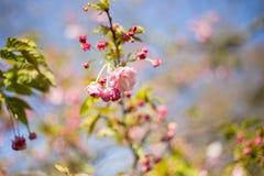 Sakura Kersenbloesem in de lente Royalty-vrije Stock Afbeelding